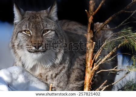Portrait of lynx lying on snow - stock photo