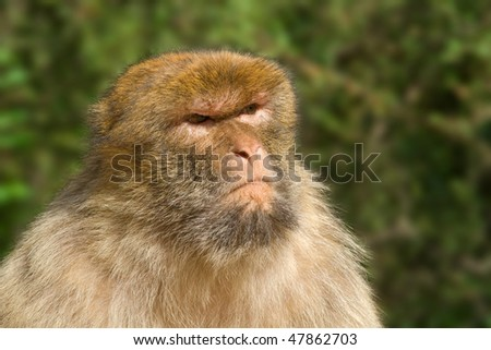 Portrait of Macaque with nasty look - stock photo