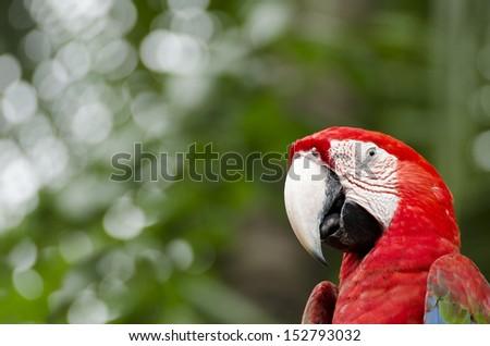 Portrait of Macaw - stock photo