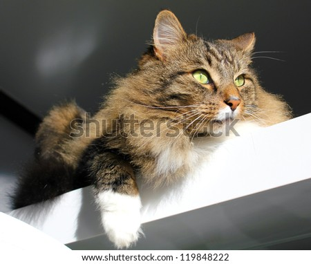 Portrait of Maine Coon cat - stock photo