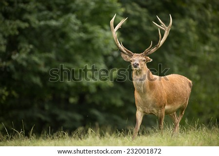 Portrait of majestic powerful adult red deer stag in Autumn Fall forest. Deer in field - stock photo