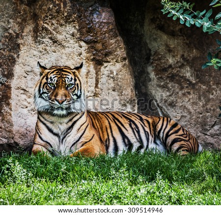 Portrait of Malayan tiger (Panthera tigris jacksoni) resting  - stock photo