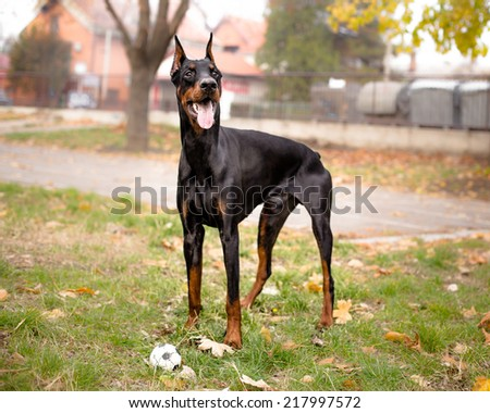 portrait of male doberman with ball - stock photo