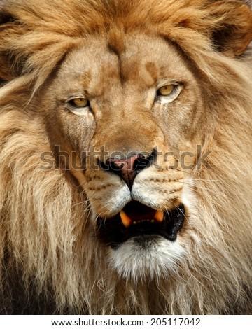 Portrait of male lion - stock photo