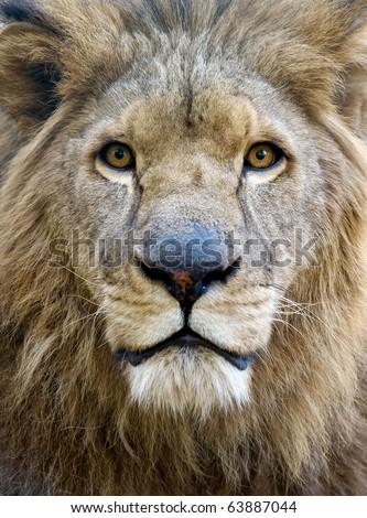 portrait of male lion face - stock photo