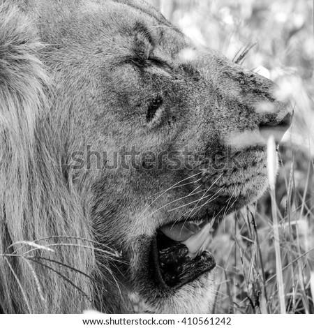 Portrait of male lion head on safari, South Africa - stock photo