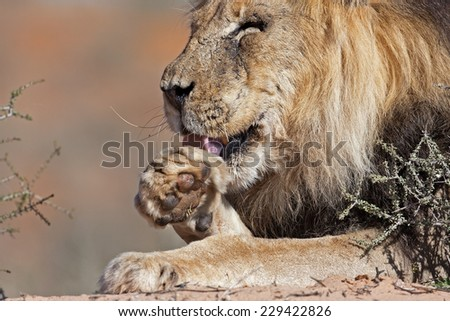 Portrait of male lion leaking his paw; Panthera leo - stock photo
