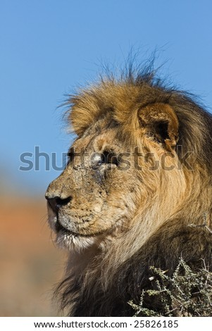 Portrait of male lion; Panthera leo; South Africa