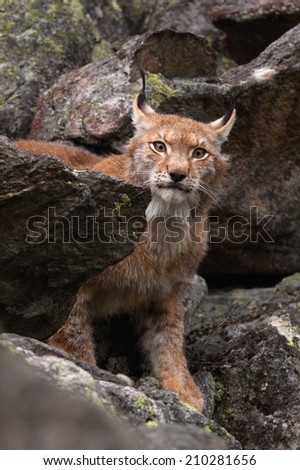 Portrait of male Lynx lynx, front view  - stock photo