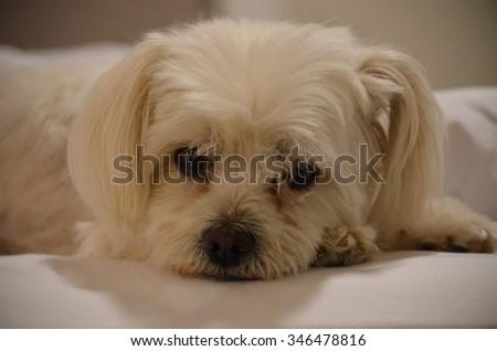 Portrait of Maltese X resting - stock photo