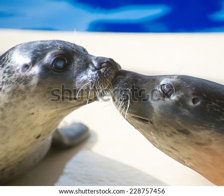 Portrait of marine seal kissing near water pool. - stock photo