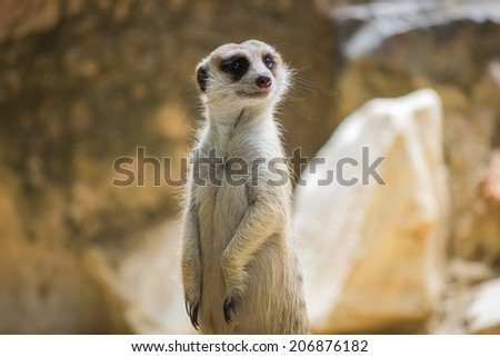 Portrait of meerkat on the rock with nature frame - stock photo