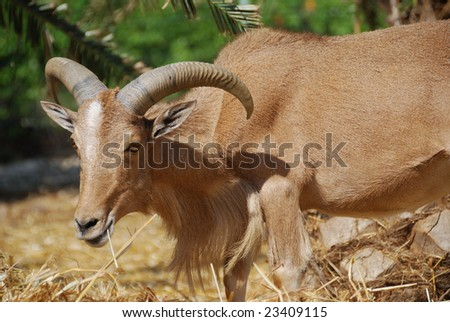 Portrait of moroccan mountain goat (Berber goat)