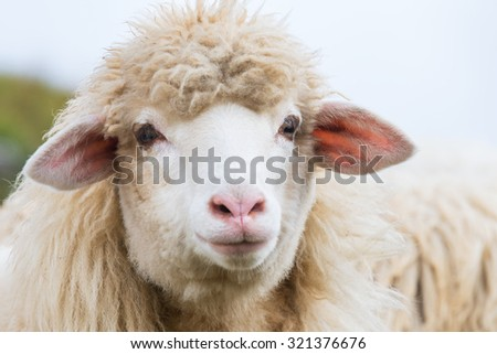 Portrait of mountain sheep farm animals - stock photo