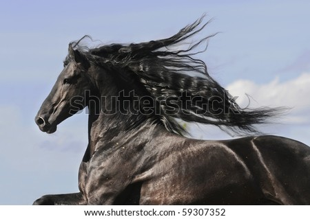 Portrait of moving friesian black horse stallion - stock photo