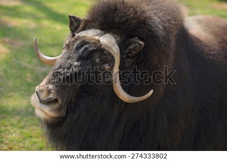 Portrait of Muskox (Ovibos moschatus, also spelled musk ox and musk-ox)  - stock photo