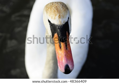 portrait of mute swan on a lake