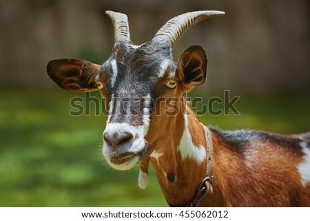 Portrait of Nanny Goat against the Dark Background - stock photo