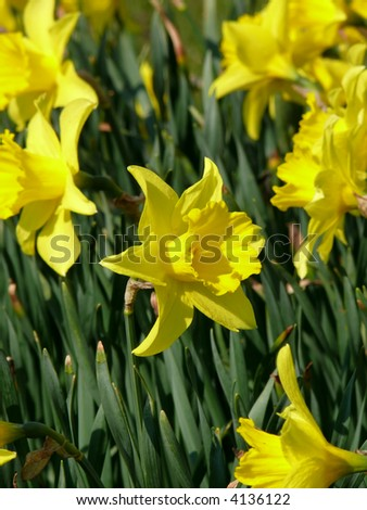 portrait of Narcissus flower (Daffodil)