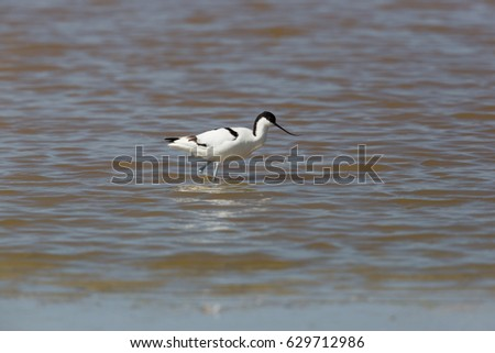 portrait of natural avocet (Recurvirostra avosetta) walking in water