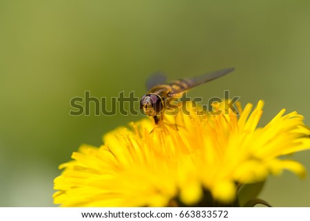 portrait of natural hoverfly sitting on yellow bloom with green smooth background