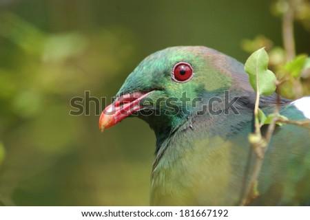 Portrait of New Zealand wood pigeon, (Keruru), Hemiphaga novaeseelandiae, Westland, South Island, New Zealand - stock photo