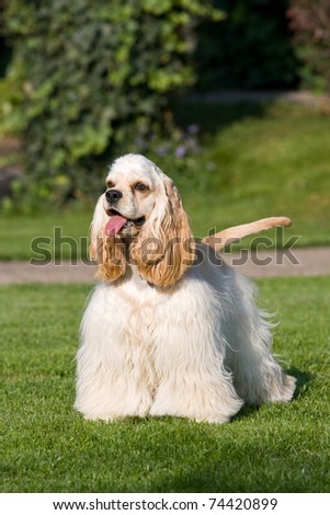 Portrait of nice american cocker - stock photo