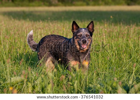 Portrait of nice australian cattle dog - stock photo