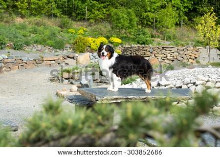 Portrait of nice Australian shepherd dog in the garden - stock photo
