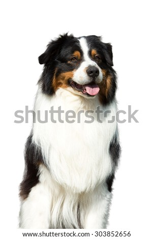 Portrait of nice Australian shepherd dog on white background