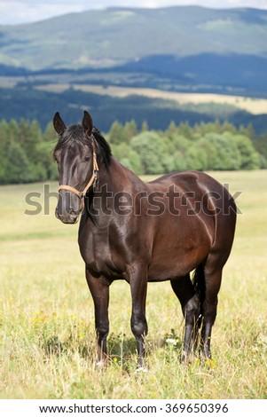 Portrait of nice black kladrubian horse - stock photo