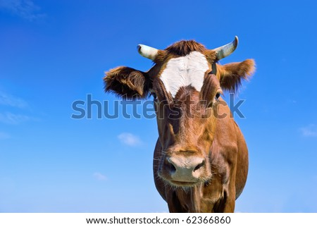 Portrait of nice brown cow against blue sky background - stock photo