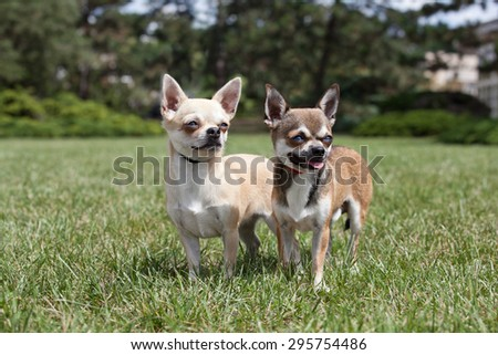 Portrait of nice chihuahua dogs - stock photo