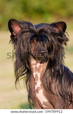 Portrait of nice chinese crested dog - stock photo