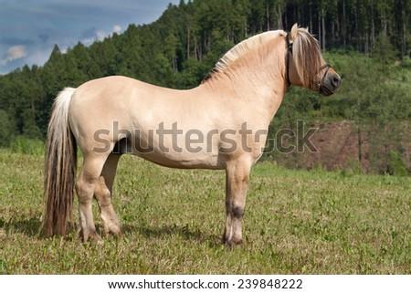 Portrait of nice fjord horse stallion - stock photo