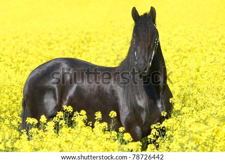 Portrait of nice friesian horse - stock photo
