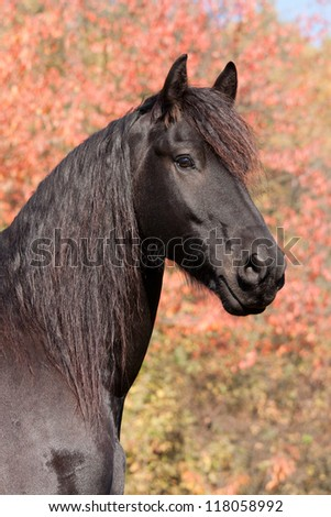Portrait of nice Friesian horse on autumn background