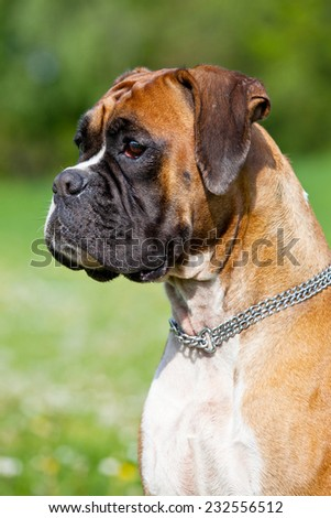 Portrait of nice german boxer - stock photo