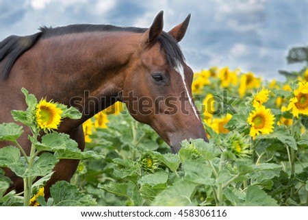Portrait of nice horse in a field of sunflowers - stock photo