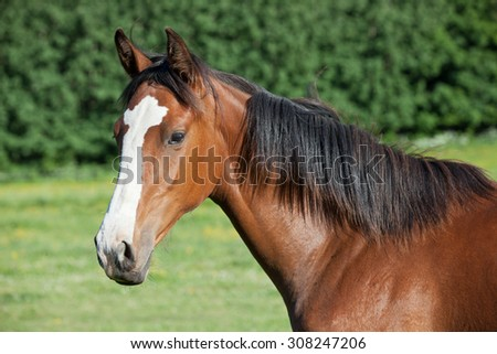 Portrait of  nice hot-blooded foal - stock photo