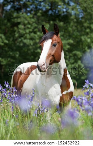 Portrait of nice paint horse in blooming meadow - stock photo