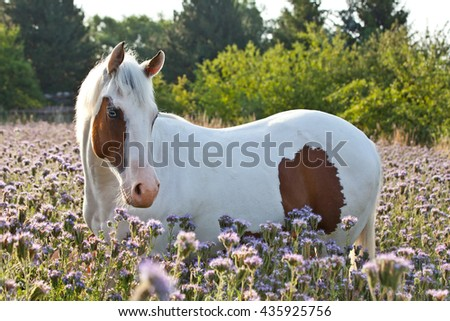 Portrait of nice paint horse on meadow violet flowers - stock photo