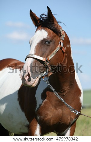 Portrait of nice paint horse on pasturage in summer