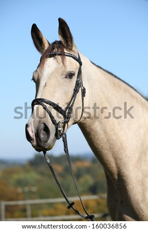 Portrait of nice palomino Kinsky horse with bridle in autumn