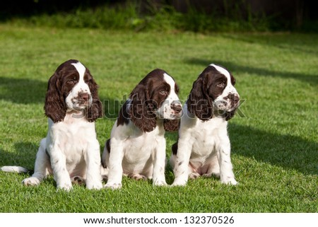 Portrait of nice puppies - english springer spaniel - stock photo