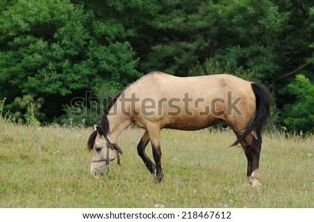Portrait of nice quarter horse - stock photo