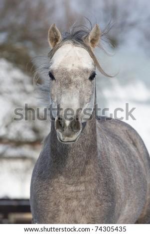 Portrait of nice running arabian horse - stock photo