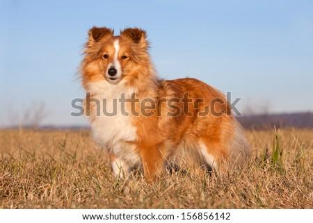Portrait of nice sheltie - stock photo