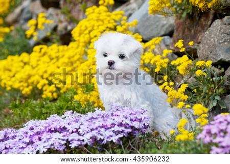 Portrait of nice young maltese dog - stock photo