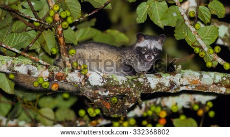 Portrait of nocturnal animals Asian palm civet (Paradoxurus hermaphroditus)on the wood in night time in nature at Khao Yai national park ,Thailand